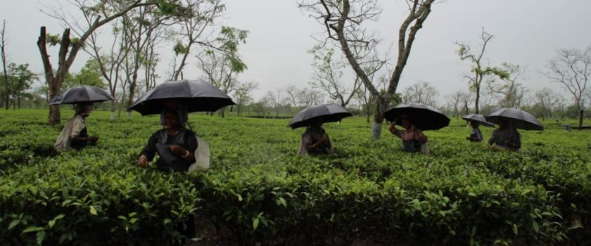 Tea plantation workers in Assam pluck leaves while it rains. Credit: Nazdeek