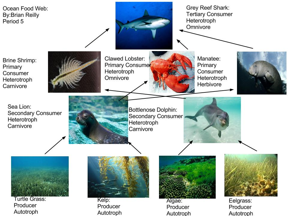 Simple Food Chain Coral Reef Belize