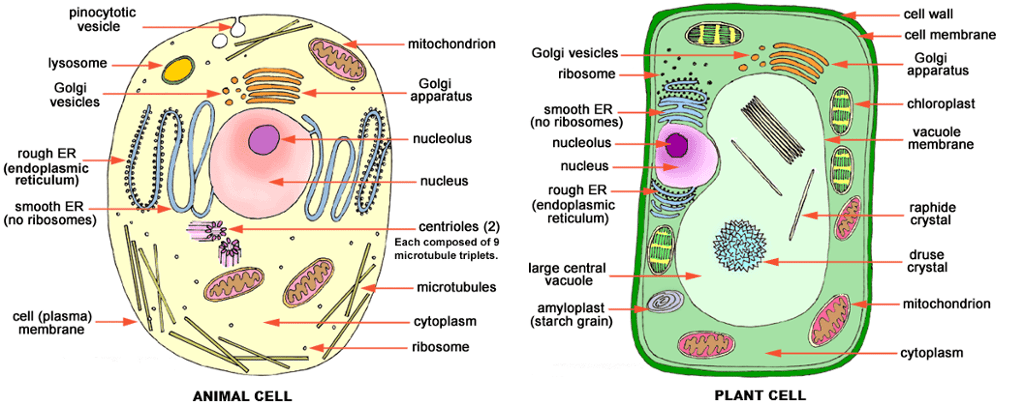 Animal Cells and Plant Cells Edwin Gomez