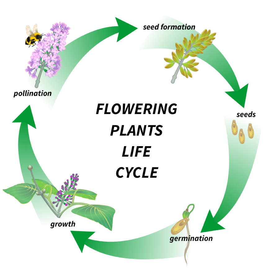 Flowering plant's life cycle!