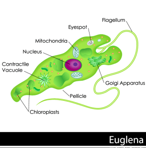 Protists Organelles found in protists