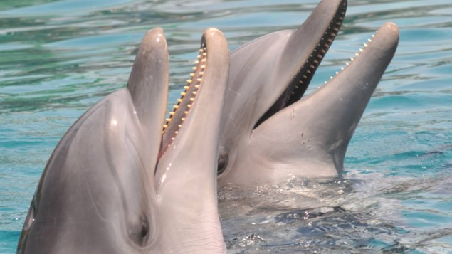 Live dolphins at the Dolphin Reef in Eilat. (photo credit: Jorge Novominsky/Flash 90)