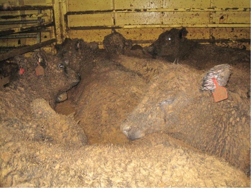 Livestock on Live Export ship from Australia (Lynn Simpson)
