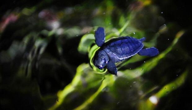 Keunikan Kura-kura: Bernapas Pakai Tempurung