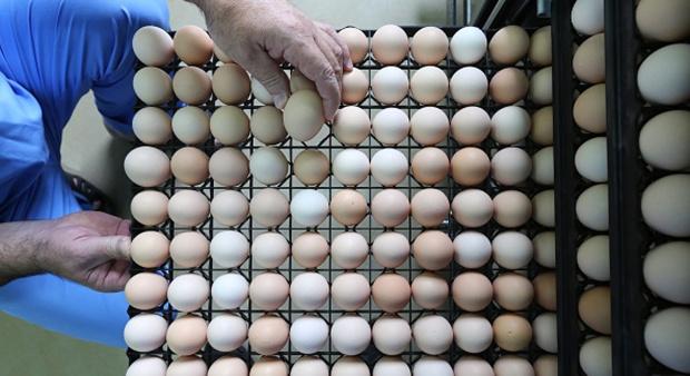IPB Rilis Telur yang Mengandung DHA 10x dari Telur Biasa