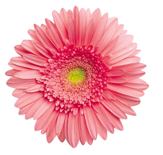 Pink Gerbera Daisy Shaped Puzzle   PuzzleWarehouse com Pink Gerbera Daisy Flowers Shaped Puzzle