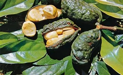 What is this about Kolanut in Igboland? - Vanguard News