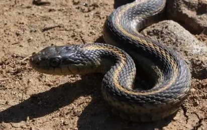 Breakthrough: UNIJOS unveils world first Anti-Snake vaccine