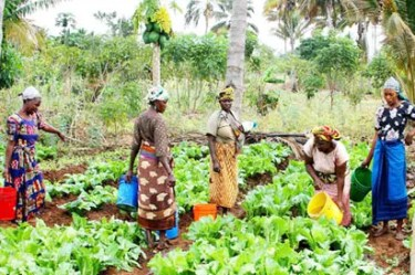 Vegetable farmers at work. 70 per cent of the farmers in Nigeria now are women.