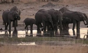 55 elephants starve to death in Zimbabwe