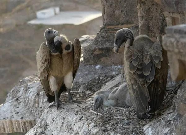 Dead vultures video raise concerns in Enugu - Vanguard