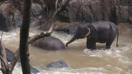 Six elephants die trying to save each other in Thailand