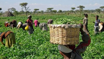 Industrial agriculture is no solution for Africa