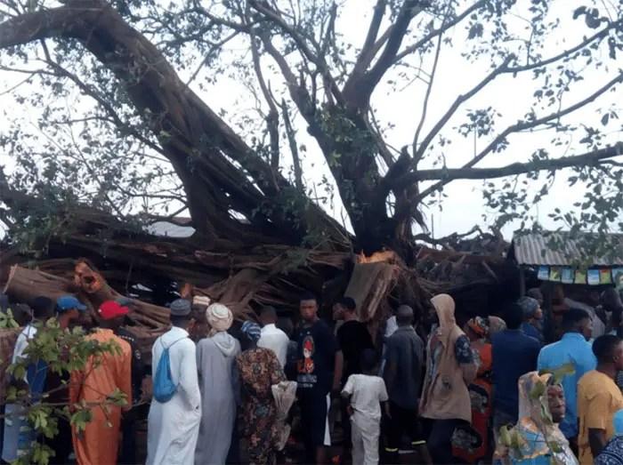 Fallen mysterious tree