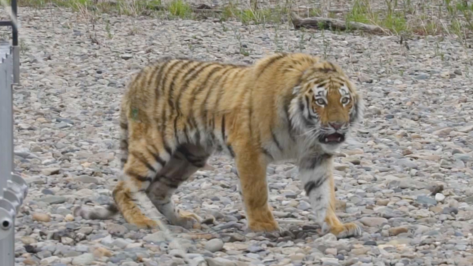 Siberian Tiger Rescued From City Streets Returned To Wild