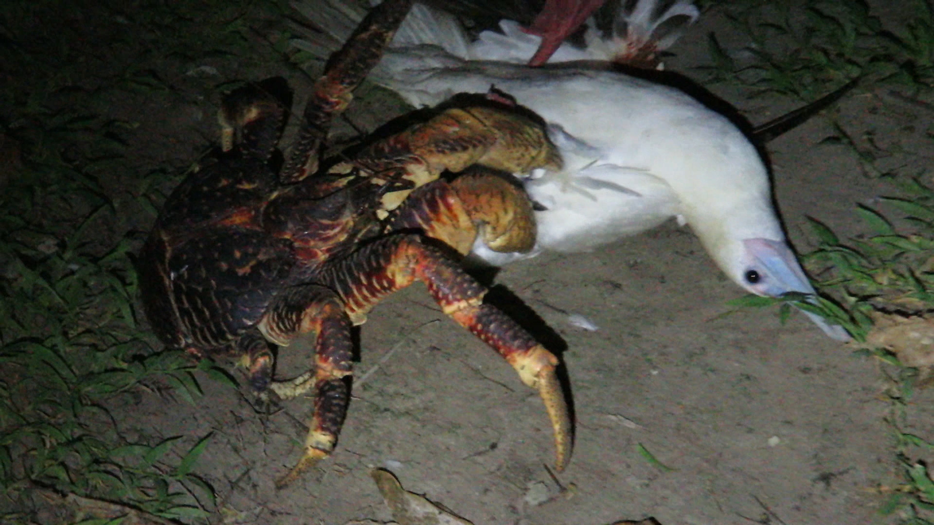 Eating Crab People Coconut