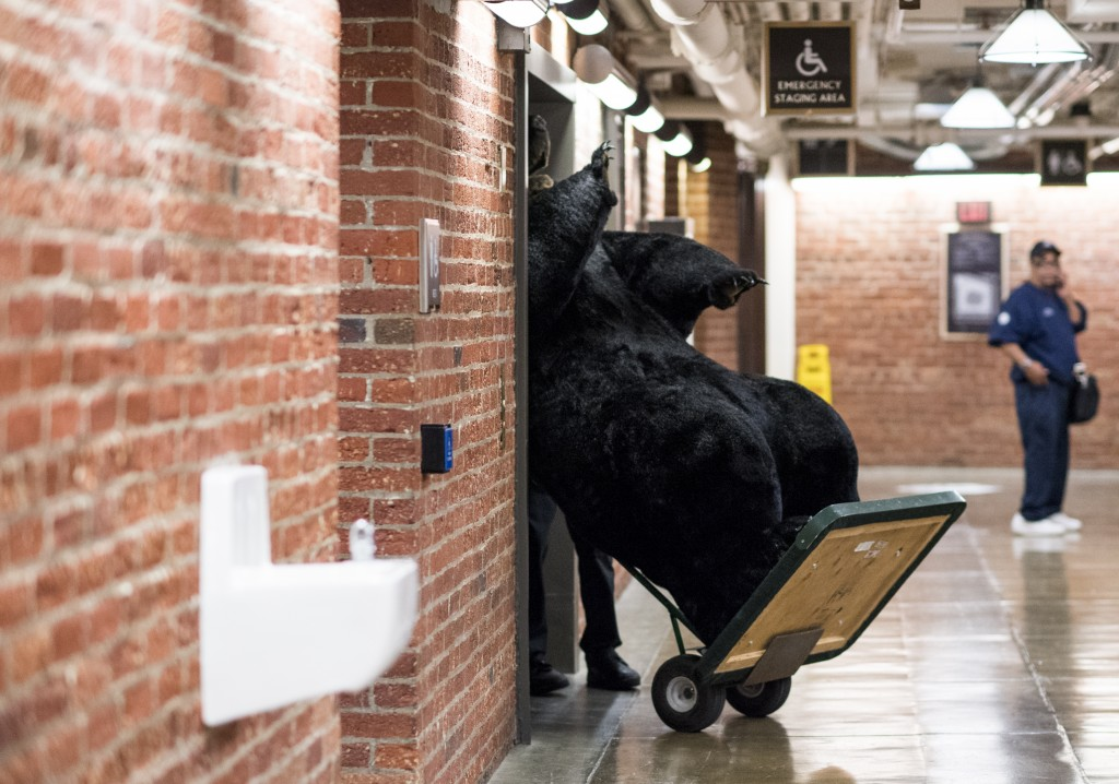 Senate staff load a life size stuffed bear from Sen. Jeanne Shaeen's office onto a freight elevator in the Russell Senate Office Building as it is moved to the Kennedy Caucus Room for the Experience New Hampshire event being held later in the evening on Wednesday, June 15, 2016. (Photo By Bill Clark/CQ Roll Call)