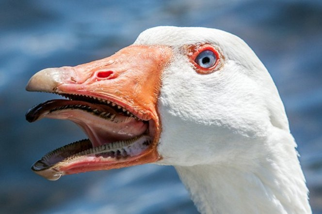 It's time you learned the truth about geese - The Verge