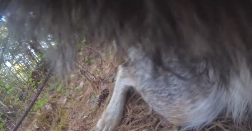 Camera footage from wolf's collar reveals a very good boy