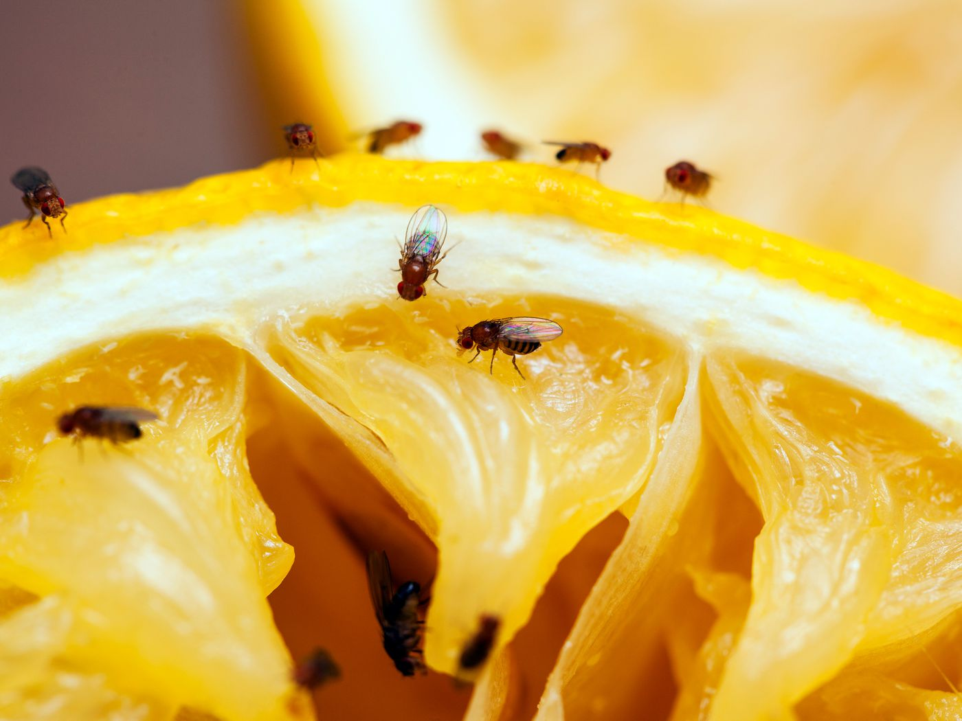 how to get rid of gnats 5 ways this