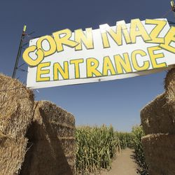 The corn maze at Ron Gibson's dairy farm in West Weber is pictured on Friday, Oct. 9, 2020. Even before COVID-19 issues decimated dairy farmers, Gibson's wife talked him into starting a corn maze, and earlier this year he decided to use hundreds of acres of his land to grow onions, tomatoes and potatoes in an effort to adapt and survive so his son can follow him into farming.