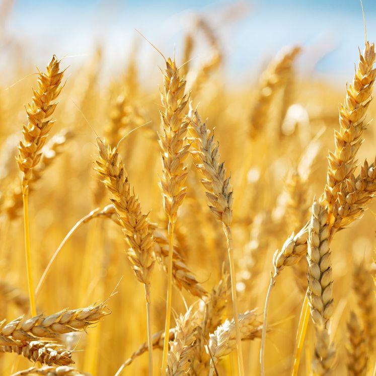 """""""هنا"""" اسباب عدم استقرار اسعار القمح"""