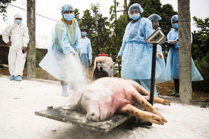 Image result for pig swine flu h1n1