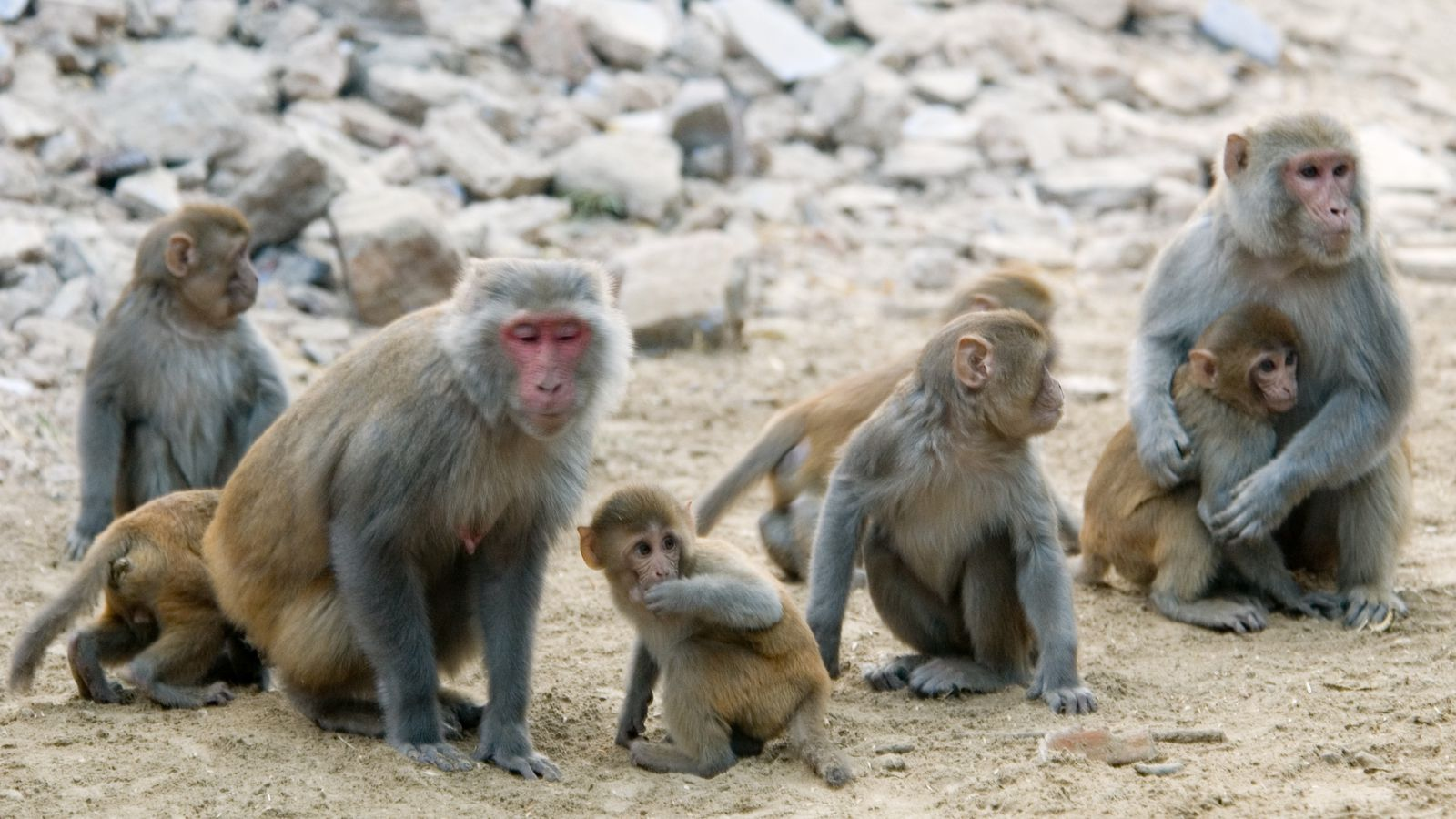 Pregnant Monkeys Shown To Stay Infected With Zika Longer