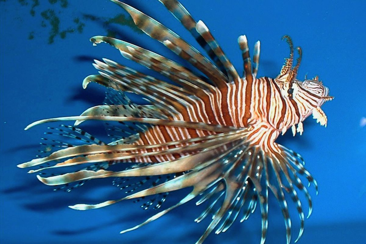 12 Year Old Scientist Helps Prove Invasive Lionfish Can