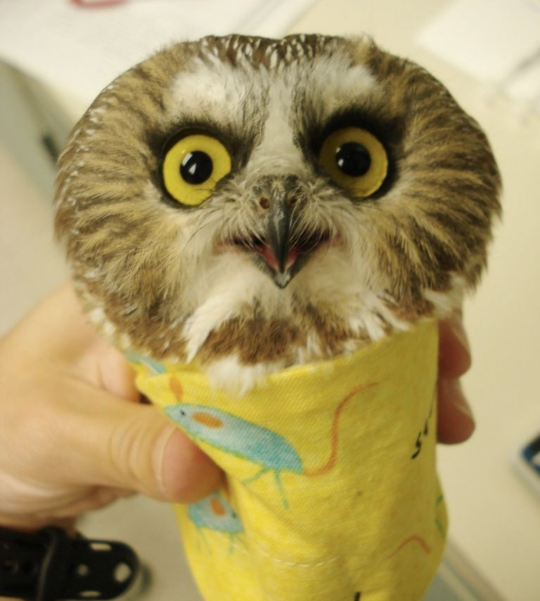 An owl ready to be weighed.