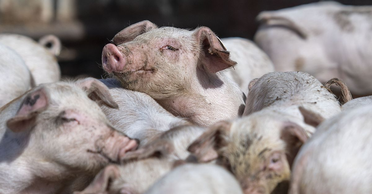 FDA approves genetically engineered pigs