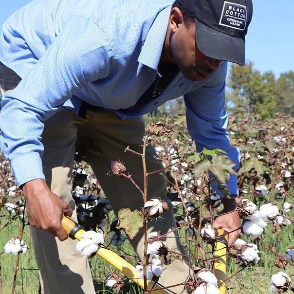 Man reaches down with clippers on a cotton plant.