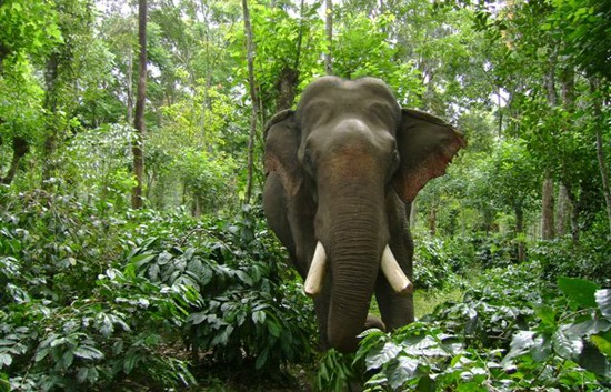 The Great Indian Elephant Elephas Maximus Indicus