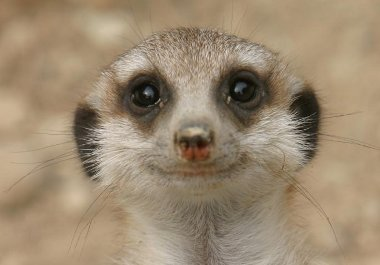 smile of a meerkat Ubuntu 10.10 se llamará Maverick Meerkat
