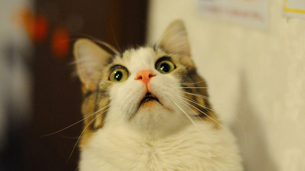 Asustar gatos con pepinos no es una buena idea. - gato-asustado-con-la-boca-abierta-465918