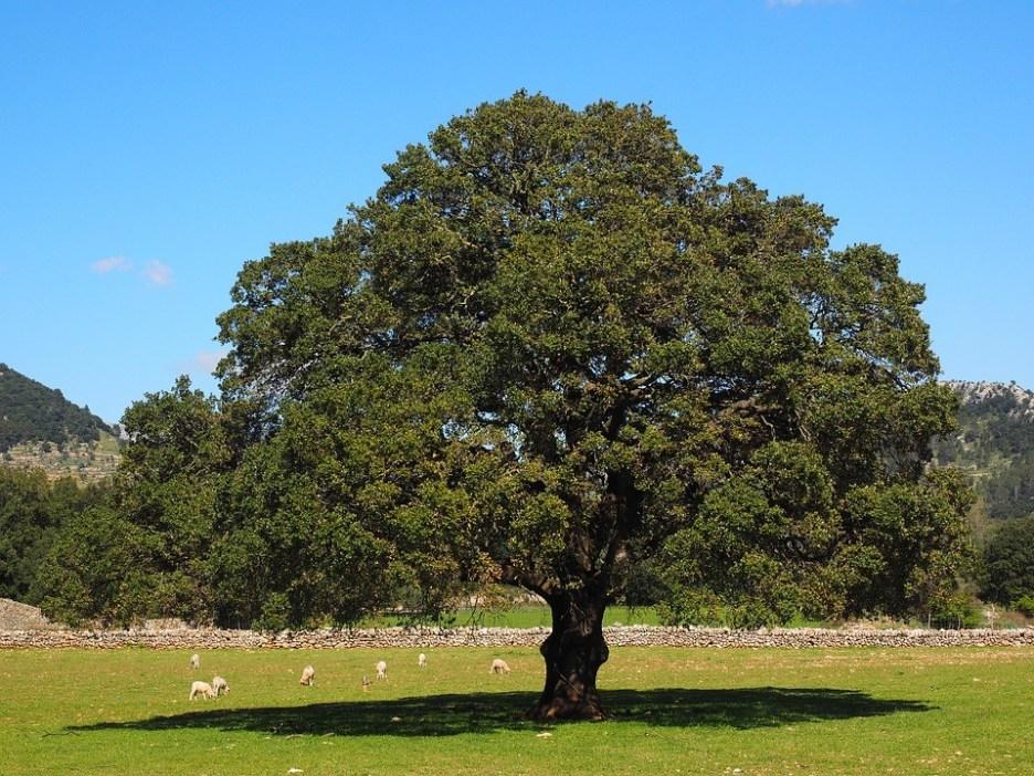 alcanfor árbol cebolla son