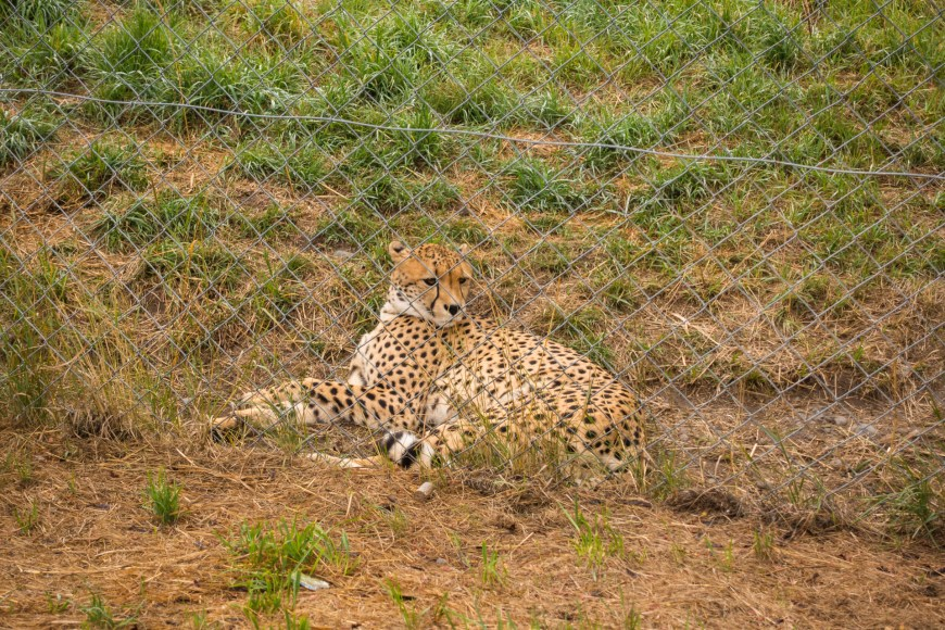 Orana Wildlife Park - Gepard