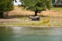 Orana Wildlife Park - Wasserbüffel