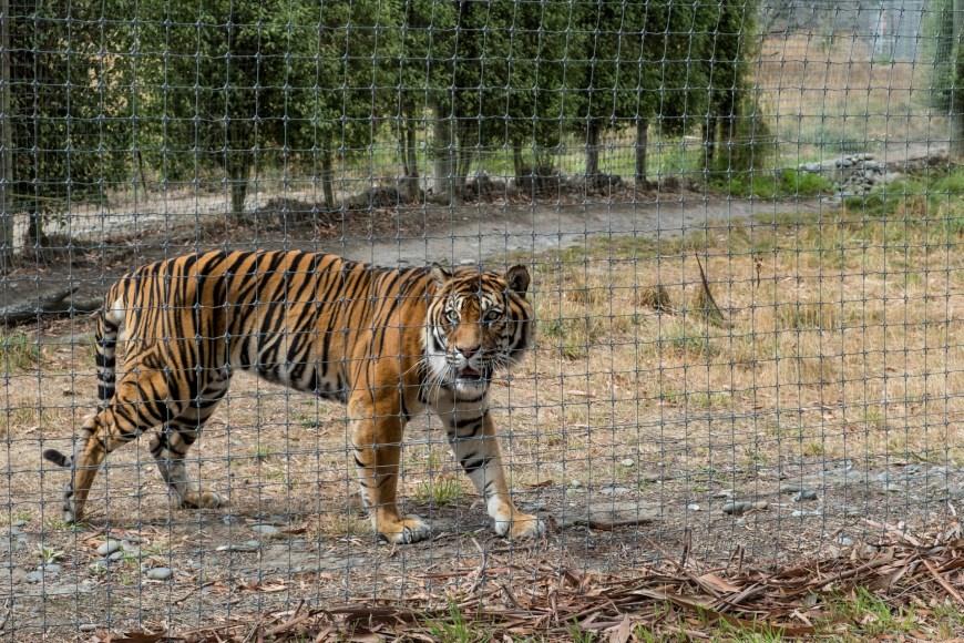Orana Wildlife Park - Tiger