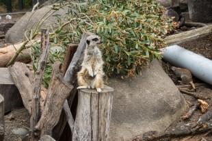 Orana Wildlife Park - Erdmännchen