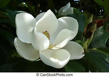 Magnolia Stock Photo Images  11 494 Magnolia royalty free images and     Magnolia Flower   A near perfect floral bloom from the a