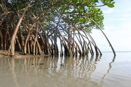 https://i2.wp.com/cdn.zmescience.com/wp-content/uploads/2008/07/mangrove0459sm.jpg