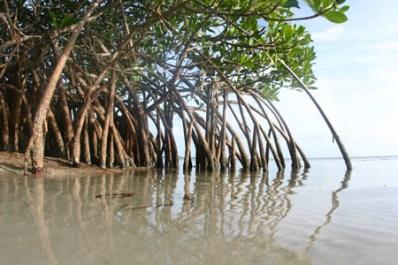 https://i2.wp.com/cdn.zmescience.com/wp-content/uploads/2008/07/mangrove0459sm.jpg?resize=398%2C265