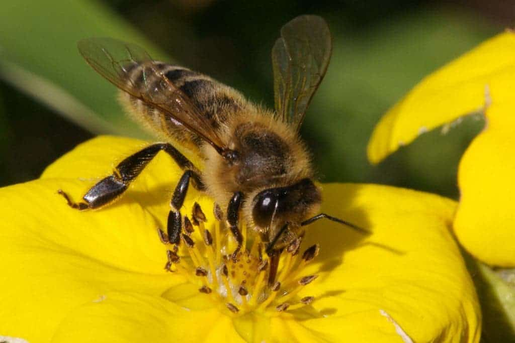 The world bee populations are dwindling, and we still can't make it ...