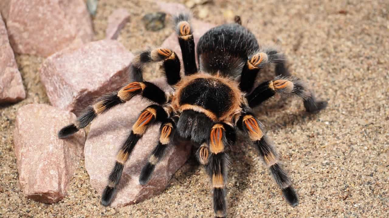 Tarantulas are * everywhere *, and now researchers know why