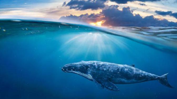 Ilustrasi ikan paus (iStock)