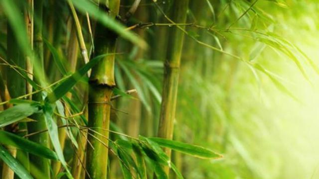 Daun bambu untuk menangkal radikal bebas.