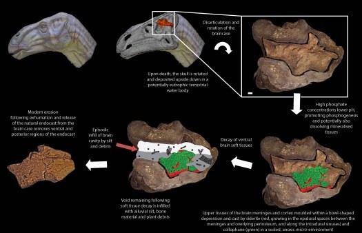 Image result for dinosaur brain fossil