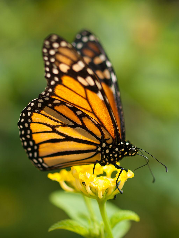 Monarch Migration Comes To Texas
