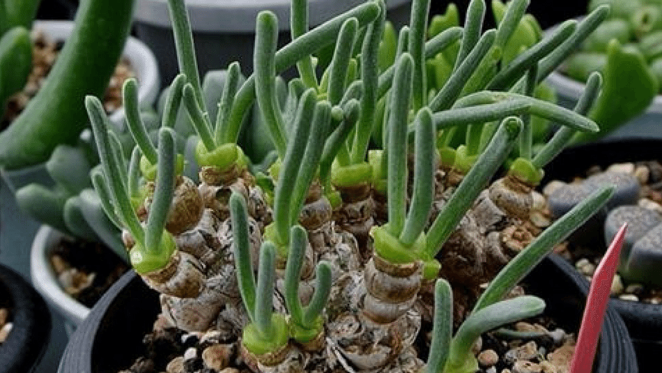 How To Care For Bunny Succulents Fuzzy Plants Perfect For Easter